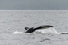 Humpback-whale-tail 1,-Squally-Reach,-mid-coast-British-Columbia