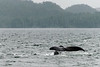 Humpback-whale-tail-2,-Squally-Reach,-mid-coast-British-Columbia