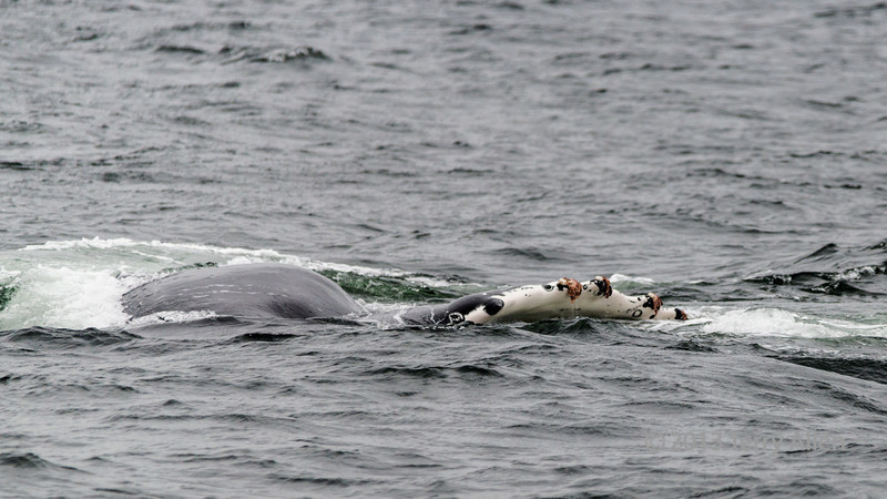 Humpback-whale-fluke-with-barnacles, Squally Reach, mid-coast British Columbia