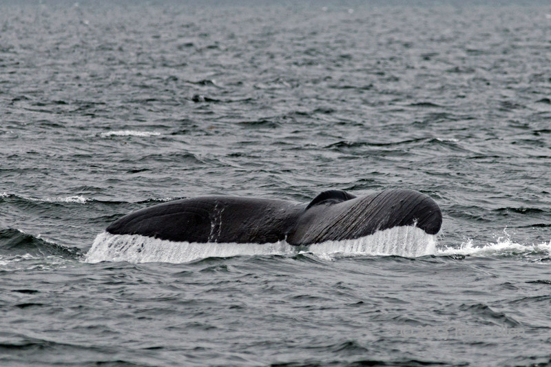 Humpback whale tail 5, Squally Channel, Gill Island, mid-coast British Columbia