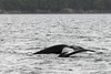 Mother-and-baby-whale-tails-1,-Squally-Reach,-mid-coast-British-Columbia