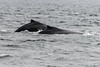 Mother-and-baby-humpbacks,-Squally-Reach,-mid-coast-British-Columbia-