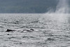 Humpback-whale-breath 1,-Squally-Reach,-mid-coast-British-Columbia