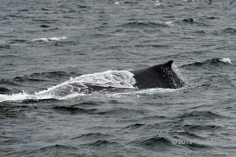 Humpback-whale-back,-Squally-Reach,-mid-coast-British-Columbia