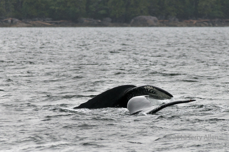 Mother and baby humpback whales practicing sychronized swimming, Squally Channel, Gill Island, mid-coast British Columbia