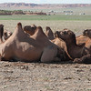 A few of the more than one hundred camels in their herd.