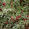 Kharmag, desert shrub with edible berries.
