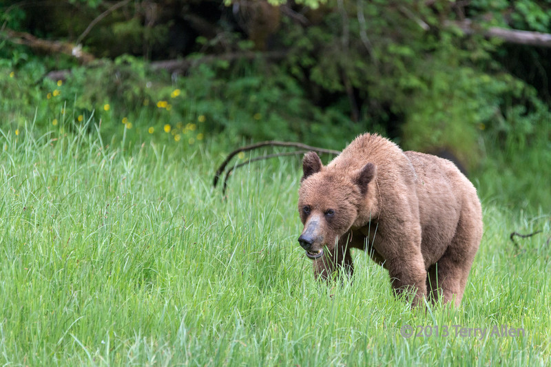Young grizzly eating sedge grass in drizzling rain,Khutze River, Great Bear Rainforest, British Columbia