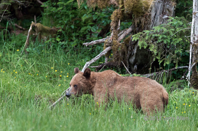 Grizzly cub and buttercups, Khutze River, Great Bear Rainforest, British Columbia
