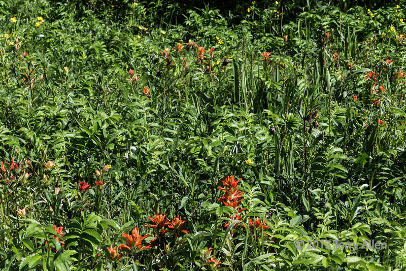 Wildflower meadow with Indian paintbrush, Khutze Inlet, British Columbia
