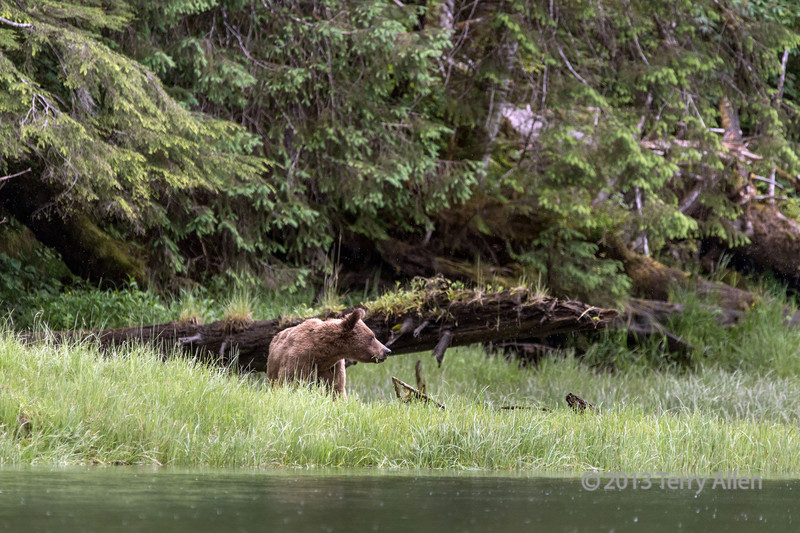Young grizzly eating sedge grass in the rain, Khutze Inlet, mid-coastal British Columbia