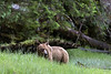 Young grizzly bear eating sedge grass in a light rain, Khutze River, Great Bear Rainforest, British Columbia