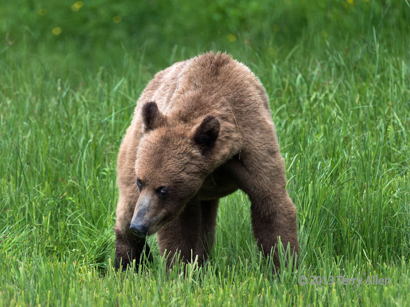 Young grizzly standing in cropped sedge grass in the spring, Khutze Inlet, mid-coastal British Columbia