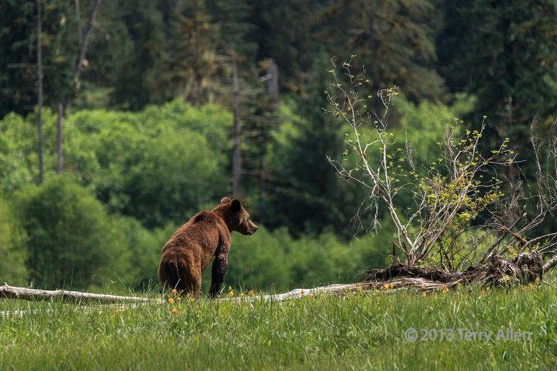 Three year old cub in a sedge grass meadow, Khutze Inlet, Great Bear Rainforest, British ColumbiaYo