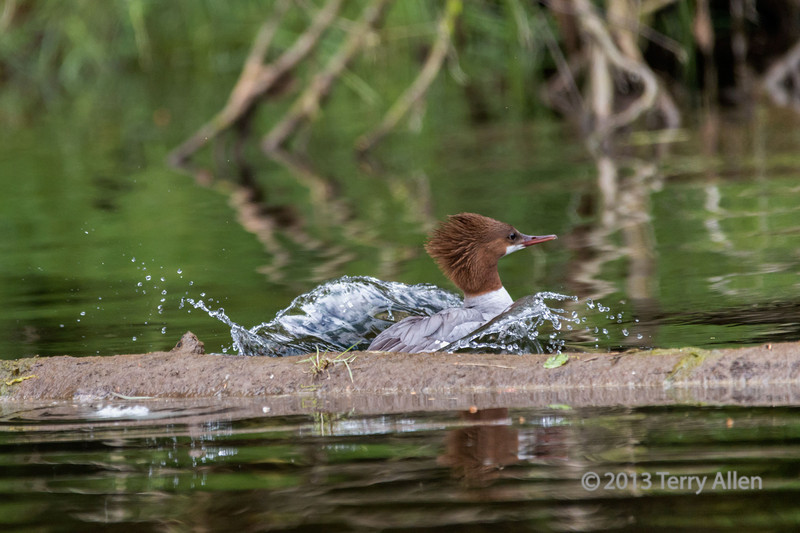 "Escaping from the photographer!<br /> <br /> Female common merganser leaping off a floating log, Khutze River, Great Bear Rainforest, British Columbia<br /> <br /> A photo of the merganser sitting on the log is here, along with more grizzly cub photos: <a href=""http://goo.gl/jf67hk"">http://goo.gl/jf67hk</a>"