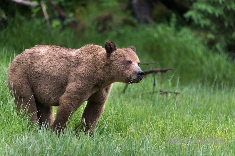 "Just how much of this grass do I have to eat before I start to bulk up! (His expression is best seen at large sizes)<br /> <br /> Young grizzly feasting on protein-rich sedge grass in the spring, Khutze Inlet, mid-coastal British Columbia<br /> <br /> I've posted the rest of the grizzly photos today.  You can see them exhibiting different behaviours here: <a href=""http://goo.gl/rF0IFa"">http://goo.gl/rF0IFa</a>"
