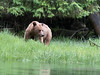 Young grizzly feeding in the sedge grass, Khutze Inlet, mid-coastal British Columbia