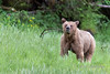 Young grizzly with a mouthful of sedge grass, Khutze River, Great Bear Rainforest, British Columbia