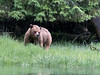 Young grizzly bear in a light rain eating sedge grass, Khutze River, Great Bear Rainforest, British Columbia