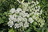 Alternate 'Q'.  Queen Anne's lace (best at largest size)