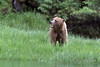 Three year old grizzly cub with a mouthful of sedge grass, Khutze Inlet, mid-coastal British Columbia