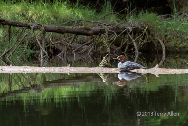 Female common merganser, Khutze River, Great Bear Rainforest, British Columbia