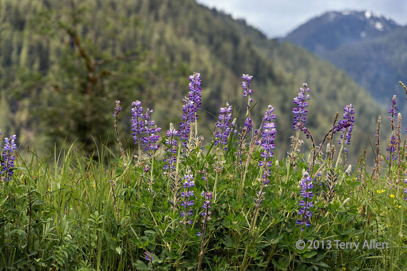 Wild lupines and mountains<br /> <br /> Lupinus perennis, Khutze Inlet, British Columbia