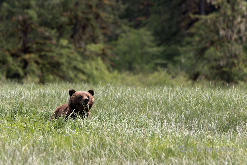 Young grizzly feeding in the high sedge grasses,  Khutze Inlet, Great Bear Rainforest, British Columbia