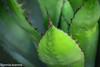 agave - spine-1