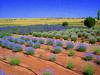 Lavender Fields, Concho, AZ