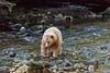 Spirit bear fishing for salmon, Gribbell Island Creek (Kwa), British Columbia