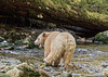 Spirit bear with open mouth, foot on rock, Gribbell Island Creek (Kwa), Verney Pass, British Columbia