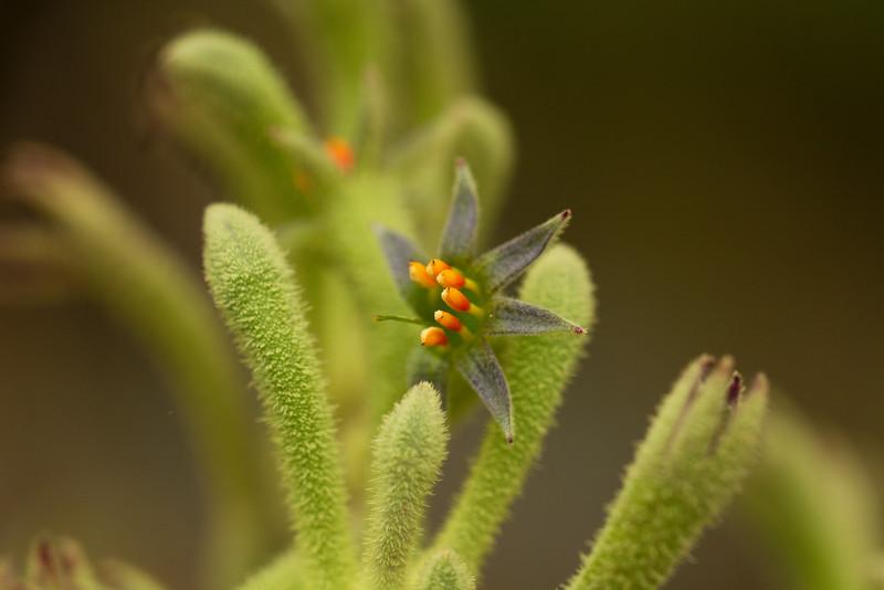 Australian Kangaroo Paw flowers