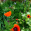 5-30-13<br /> Kathy Thompson garden at 500 W. Mulberry.<br /> Prince of Orange Poppies<br /> KT photo | Tim Bath