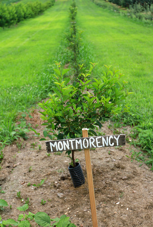 7-26-13<br /> McClure's Orchard<br /> A row of Montmorency apple trees grows in the McClure's Apple Orchard.<br /> KT photo | Kelly Lafferty