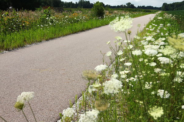 7-23-13<br /> Nickel Plate trail<br /> Queen Anne's Lace borders the Nickel Plate trail in Miami County.<br /> KT photo | Kelly Lafferty