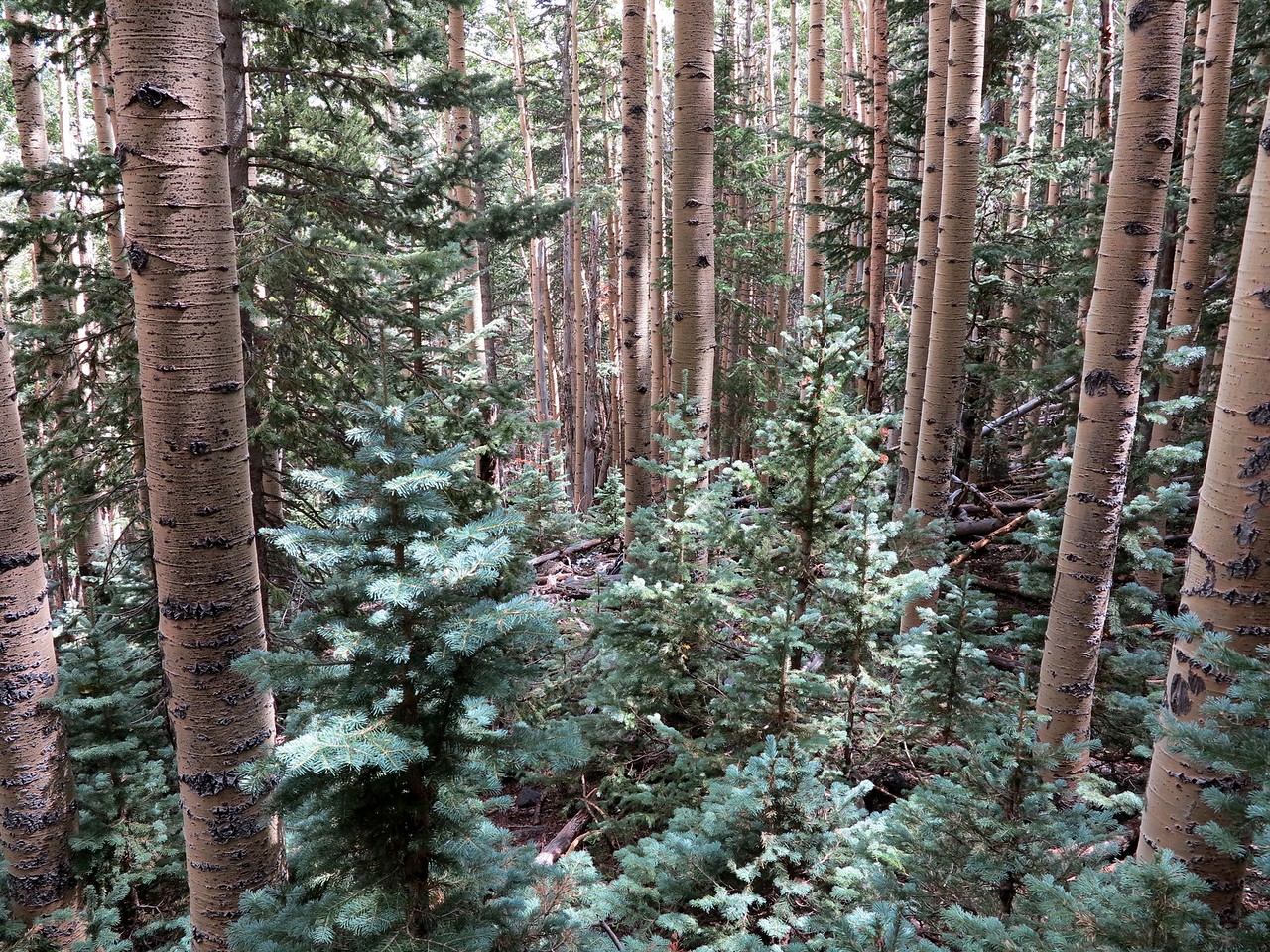 """THE CRASH SITE - SEPTEMBER 2013<br /> <br /> This photo illustrates how difficult it was to locate the crash site. The impact site of """"N300SP"""" is about 30 feet into this dense stand of Aspen trees."""
