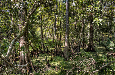 bayou-cypress-trees-1
