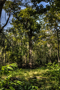 bayou-trees-3-1