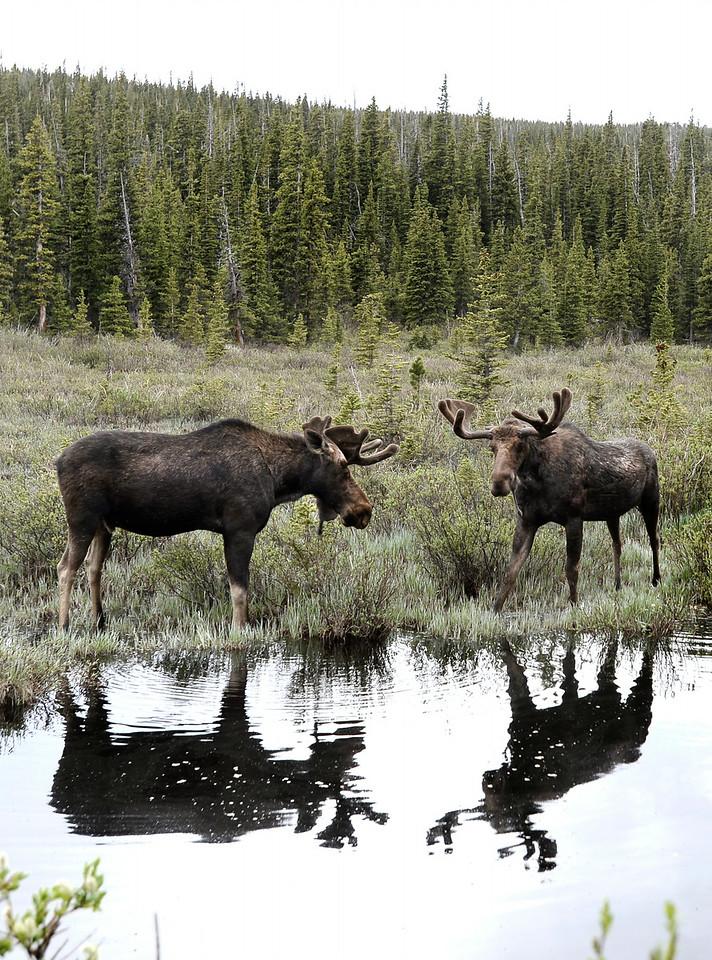 Indian Peaks Moose