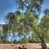 old California pepper tree in Lake Hodges escondido