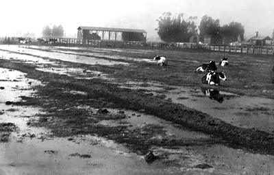 Dairy farms, 1951