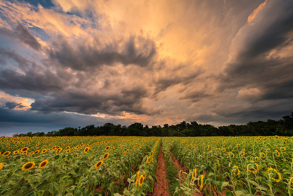 Sunflowers at Sunset, Looking North