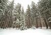 Winter Pine Stand