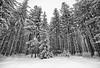Winter Pine Stand, Monochrome