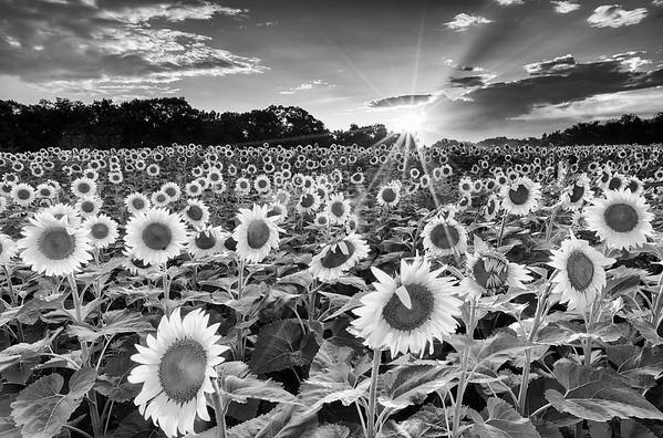 Poolesville Sunflowers, Monochrome