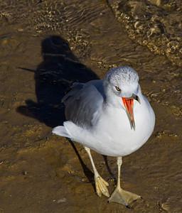 Seagull Yawning