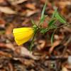 Hibiscus Divaricatus