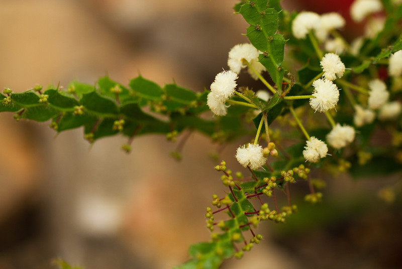 Acacia Alata - Winged wattle, Mimosaceae family