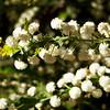 Acacia alata var.biglandulosa - Winged Wattle, MIMOSACEAE Family